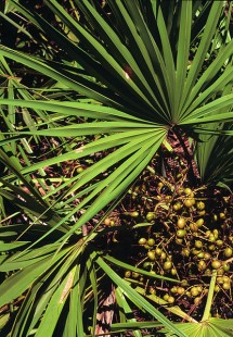 saw-palmetto  -benefits