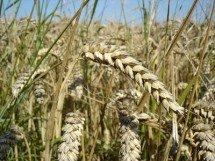 grains with gluten